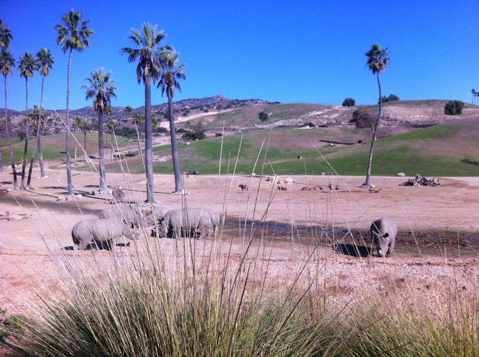 cheetah race at san diego zoo safari park