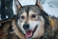 Husky Sledding In Lapland: My Favourite Safari In Rovaniemi