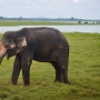 Kaudulla Elephant Safari: Up Close With Sri Lanka's Wild Elephants