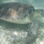 Swimming With Wild Sea Turtles At Akumal, Mexico